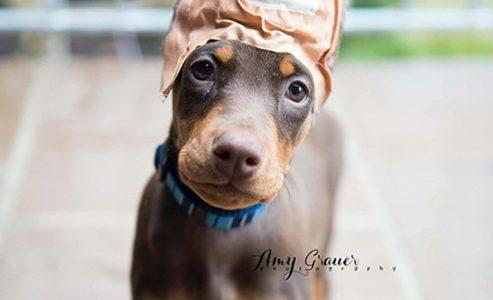 Pet of the Week – Meet Ruby the Doberman