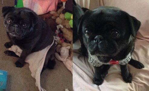 Pet of the Week – 'Neevee the Pug with an Adorable Mug'