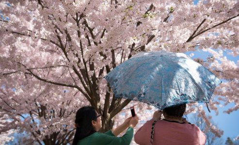 Cherry Blossoms At High Park In Toronto Ready To Bloom