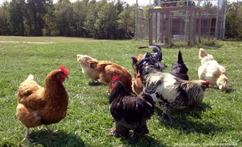Toronto May Soon Make Raising Chickens In Your Backyards Legal