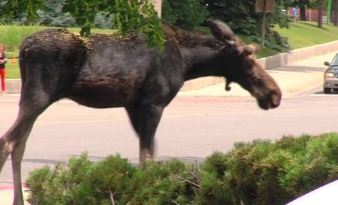 A Moose is loose In Toronto