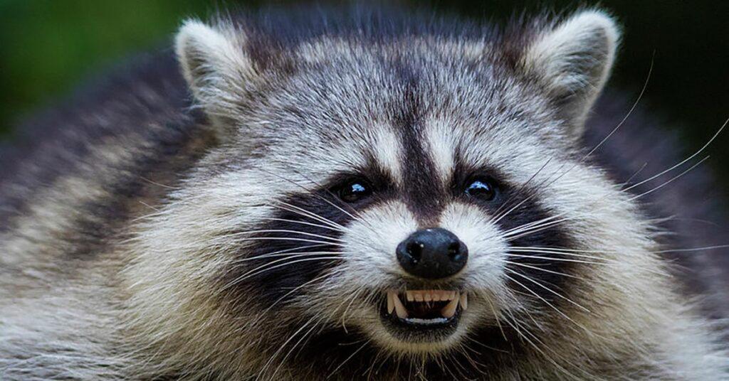raccoon bites