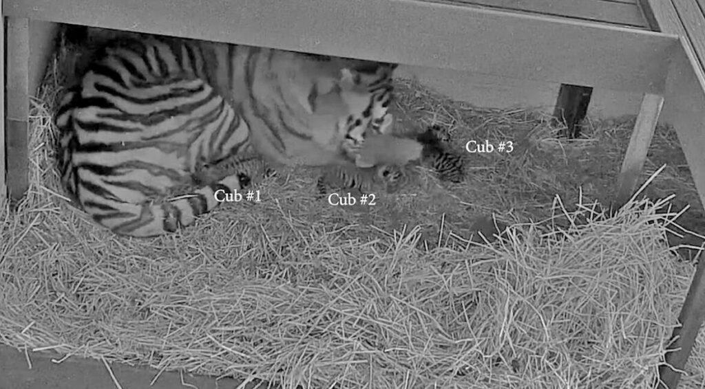 3 Amur Tier cubs born at Toronto Zoo